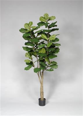 Potted Fiddle Tree 7' Green